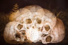 42 (Eera Photography) Tags: skull mementomori multipleexposure incameramultipleexposure semicircle lifeanddeath