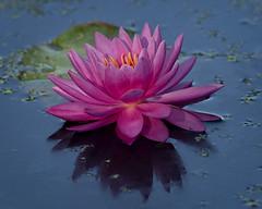 Water Wonder (MrBlueSky* AWAY) Tags: waterlily lily flower petal garden horticulture nature outdoor colour water kewgardens royalbotanicgardens london pentax pentaxart pentaxlife pentaxawards pentaxflickraward pentaxk1mkii aficionados