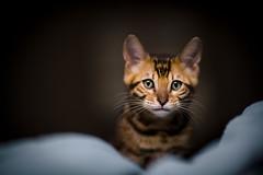 Sierra (Ivan Makarov) Tags: ivanmakarov cat kitten bengal