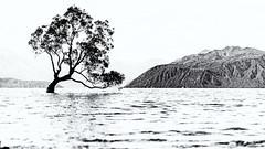A tree in a lake (David Feuerhelm) Tags: nikkor lake mountain contrast blackandwhite bw noiretblanc schwarzundweiss blancoynegro monochrome wanaka centralotago southisland newzealand d750 2470mmf28