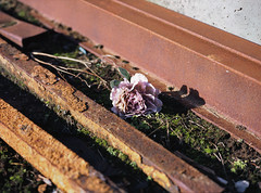 (laurentgaudart) Tags: rose artificial kingstonuponhull rust laurentgaudart 120 film mamiya645protl trash trashbit flower objettrouve trouvé macro