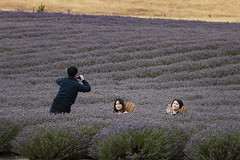 In Lavender fields (Ian@NZFlickr) Tags: lavender field mount cook road canterbury nz