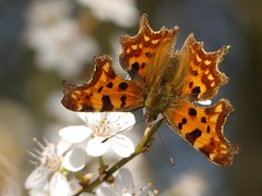 Comma (ukstormchaser (A.k.a The Bug Whisperer)) Tags: comma uk butterfly butterflies animal animals wildlife blossom milton keynes mk bucks buckinghamshire february winter spring feeding flowers