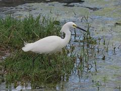 aigrette neigeuse (snowy egret) (gillesC) Tags: egrettathula