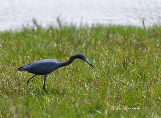 Little Blue Heron-Emerson Preserve Palmetto Florida-7