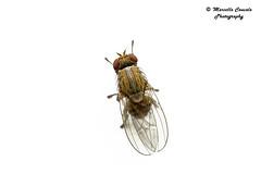 Minettia fasciata (Fallén, 1826) ♀ (Marcello Consolo) Tags: taxonomy:kingdom=animalia animalia taxonomy:phylum=arthropoda arthropoda taxonomy:subphylum=hexapoda hexapoda taxonomy:class=insecta insecta taxonomy:subclass=pterygota pterygota taxonomy:order=diptera diptera taxonomy:suborder=brachycera brachycera taxonomy:infraorder=cyclorrhapha cyclorrhapha taxonomy:zoosection=schizophora schizophora taxonomy:zoosubsection=acalyptratae acalyptratae taxonomy:superfamily=lauxanioidea lauxanioidea taxonomy:family=lauxaniidae lauxaniidae taxonomy:genus=minettia minettia taxonomy:species=fasciata taxonomy:binomial=minettiafasciata minettiafasciata inaturalist:observation=21151780
