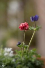 anemoon (maar73) Tags: anemoon flower maar73 macro bloem lente spring garden tuin nikond7500 sigma180mmf28exdgosapohsmmacro