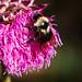 Bumblebee Thistle