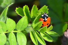 Colored world again (BrigitteChanson) Tags: coccinelle coccinella mariquita lagybug insecte insecto insetto insect vert verde green orange arancione naranja
