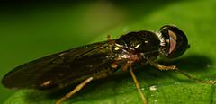 Big Eye Fly (Craig Tuggy) Tags: thailand bangkok revers lens stack zerene nature macro big eye fly insect