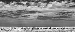 TANZANIA 14 (Nigel Bewley) Tags: wildebeest connochaetestaurinus tanzania africa wildlife nature wildlifephotography nigelbewley photologo appicoftheweek safari gamedrive sky clouds blackandwhite march march2019 serengetinationalpark canonef1635mmf28lusm canon5dmkii 830nm infrared digitalinfrared advancedcameraservices blackwhite creativephotography artphotography migration