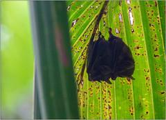 Hanging Out (Mabacam) Tags: 2019 costarica tortuguero tortugueronationalpark nature bats pygmybats palmleaf shelter nocturnal creature animal fauna