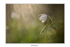 IMGP7776 (Francinen89) Tags: fleurs flowers anémone sylvie sylvestre forêt nature macro proxi rai ray soleil lumière light