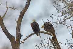 Courtship (Peter Stahl Photography) Tags: baldeagle sturgeoncounty eagle mating spring bird wildlife