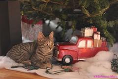 Christmas Kitty (Robinson Baez) Tags: christmaskitty canont6eosrebel canon50mmf18 animals grey cat kittens
