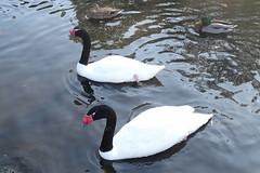 Black-necked Swans (Wildlife Terry) Tags: martin mere wildlife wetlands trust domestic escapee ornamental wildfowl waterbirds ducks geese swans lancashire northwestengland