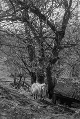 Et in Arcadia Ego (Italian Film Photography) Tags: arcadia bucolic countryside sheep tree nature animals blackandwhite blackwhite film analogue pecora campagna albero bucolico pellicola animali 35mm silver hp5 ilford hc110 rollei 35