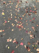 autumn leaves (光輝蘇) Tags: 清華大學29 morning leaves kk