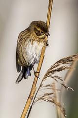 Reedbunting (Ron Giesbers) Tags: westcork westcorkhide bird reeds wildatlanticway nature naturephotography birdphotography birdportraits
