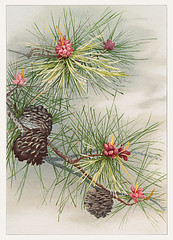 Pine flower on a Christmas & birthday card (Free Public Domain Illustrations by rawpixel) Tags: mynt pdproject20 pdproject20batch44 pdproject22 por vector pdproject20batch44x antique art arts artwork beautiful birthday bloom blooming blossom botanical branch card christmas christmascard cone deciduous drawing evergreen flora flower fresh green historic historical history illustration leaf leaves name natural nature needle outdoor painting pine pinecone plant pollen pollination print prints publicdomain retro season seasonal tree vintage winter wood xmas