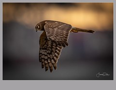 Flickr--2019-01-17-2680.jpg (frankpaliphotography) Tags: prey hawk hunting nature cyaneus birds flying circus brown background flight marsh female ornithology blue wild wildlife feathers predator wings bird harrier outdoors northern isolated raptor sky field