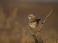 IMG_0253 (Sebastian Orue) Tags: birds birding nature texas animal bird tree tamron canon7d canon grassland biology conservation sagebrush sparrow