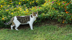 2015-09-20_16-41-08_ILCE-6000_DSC00245 (Miguel Discart (Photos Vrac)) Tags: 2015 69mm animal animalphotography animals animalsupclose animaux cat cats chat chats colakli e1670mmf4zaoss focallength69mm focallengthin35mmformat69mm holiday hotel ilce6000 iso100 kamelya kamelyaworld nature naturephotography pet sony sonyilce6000 sonyilce6000e1670mmf4zaoss summer turkey turquie vacance vacation
