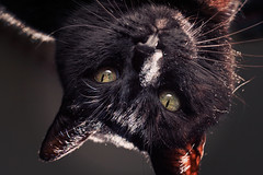 contrariwise (Pepenera) Tags: black blackbeauty blackcat cat cats chat gatto gato gatti portrait