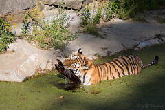 Cleaning the enclosure (Cloudtail the Snow Leopard) Tags: tiger tier animal mammal säugetier cat katze feline gros raub big panthera tigris tierpark berlin