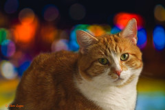 Crazy Tuesday - Bokeh (Chris Scopes) Tags: crazytuesday bokeh cat ginger portrait