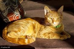 Good morning (C.P. Kirkie) Tags: cat cats feline sunshine washougalwashington washougal washington couch orange kitten