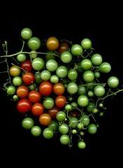 59405.01 Solanum lycopersicum 'Sweet 100' (horticultural art) Tags: horticulturalart solanumlycopersicumsweet100 solanumlycopersicum tomato tomatoes redandgreen fruit vegetable food