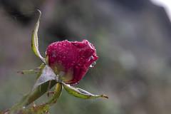 Spider Web (pfrullo) Tags: ragnatela firenze rosa rosso rugiada spider web dew rose florence