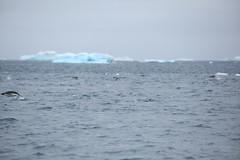 IMG_3809 (y.awanohara) Tags: adelie adeliepenguins penguins antarctica antarcticpeninsula wildlife january2019 icebergs ice icefloes
