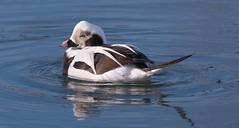 Long-tailed Duck - male (Clangula hyemalis) (Gavin Edmondstone) Tags: clangulahyemalis longtailedduck duck male bird bronteharbour brontecreek oakville ontario canada
