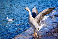 Oie - oiseau palmipède (thierrybalint) Tags: oie parc park borély marseille water bird nikon nikoniste balint thierrybalint palmipède palmiped goose