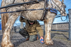 """A little feather grooming sir"" (Pensioner Percy) Tags: horse cob feathers maryport england harness groom grooming d750 35mm nikon35mm nix nikon bluesky detail colorefexpro4 acdsee maryportharbor seaside cumbria westcoast solwayfirth river 35mm18 nikonlens nikonfullframe"