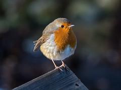 Dunham Robin (Maria-H) Tags: robin erithacusrubecula dunhammassey garden cheshire uk olympus omdem1markii panasonic 100400