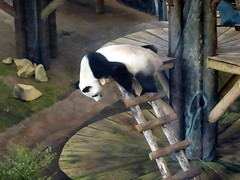 rhenen_2_056 (OurTravelPics.com) Tags: rhenen the giant panda wu wen her residence pandasia ouwehands dierenpark zoo