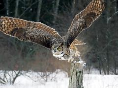 Oliver Great Horned Owl CRC IMG_2637 (Jennz World) Tags: ©jennifermlivick canadianraptorconservancy vittoria ontario canada greathornedowl owl bird raptor snow winter