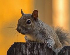Orange Glow (ACEZandEIGHTZ) Tags: portrait squirrel animal furry nikon d3200 macro closeup easterngrey sciuruscarolinensis gray nature coth5 sunrays5