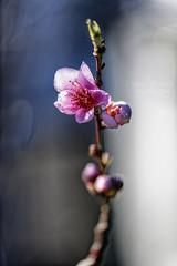 First sign of spring ((Virginie Le Carré)) Tags: cerisier sherrybloom bloom fleur printemps spring yinyang opposés opposite darklight flower bokeh nature naturallight outside extérieur