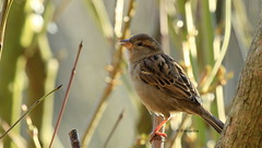Haussperling im Gegenlicht (petra.foto busy busy busy) Tags: haussperling vogel nature fauna sonnenlicht gegenlicht fotopetra 5dmarkiii
