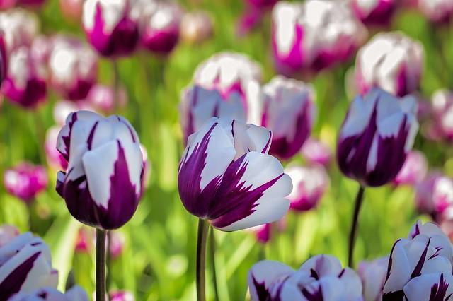 Обои макро, тюльпаны, пестрый картинки на рабочий стол, раздел цветы - скачать