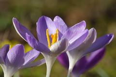 Crocus (hedgehoggarden1) Tags: crocus flower flora chippenhamhallgardens cambridgeshire eastanglia uk sonycybershot purple sony gardens nature springisintheair
