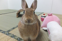 Ichigo san 1509 (Errai 21) Tags: いちごさんとララ ichigo san  ララ sanrio ichigo rabbit bunny cute netherlanddwarf pet ウサギ うさぎ いちご ネザーランドドワーフ ペット 小動物  ichigo 1509