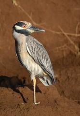 Yellow-crowned Night-Heron (anacm.silva) Tags: yellowcrownednightheron ave bird wild wildlife nature natureza naturaleza birds aves tarcolesriver tárcoles costarica nyctanassaviolacea