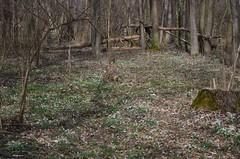 Lumikellukesemets (anuwintschalek) Tags: nikond7000 d7k 18140vr austria niederösterreich lichtenwörth mets wald forest lumikellukesemets schneeglöckchenwald lumikellukesed schneeglöckchen snowdrops kevad frühling spring march 2019