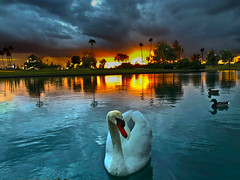 Swan Lake (oybay©) Tags: bird animal swan suncitywest arizona winter reflection stardustgolfclub sky clouds rain ominous refelction color colors colorful sunset ruleofthirds
