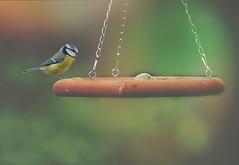My Bluetit... (KissThePixel) Tags: bluetit bird birdwatching britishbird wildlife wildbird longacremanor bokeh bokehlicious softbokeh macro makro closeup nikon nikond750 150600mm tamron150600mm tamron nature woodland garden